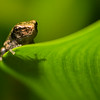 NAc1233 Gray Tree Frog (Hyla versicolor) Juvenile, Dunwoody, GA