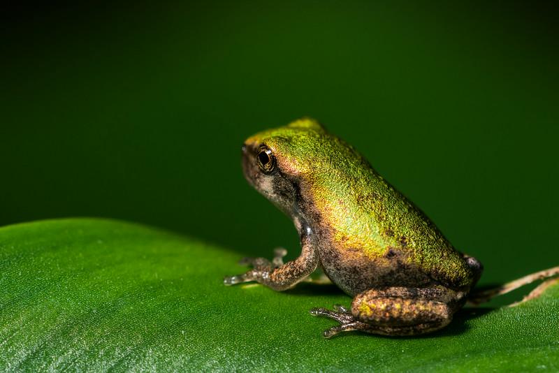 NAc1387 Gray Tree Frog (Hyla versicolor) Juvenile,  Dunwoody, GA