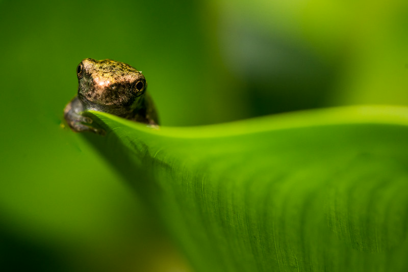 NAc1219 Gray Tree Frog (Hyla versicolor) Juvenile, Dunwoody, GA