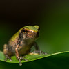 NAc1414 Gray Tree Frog (Hyla versicolor) Juvenile,  Dunwoody, GA