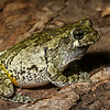 NAc1307 Gray Tree Frog (Hyla versicolor), Dunwoody, GA