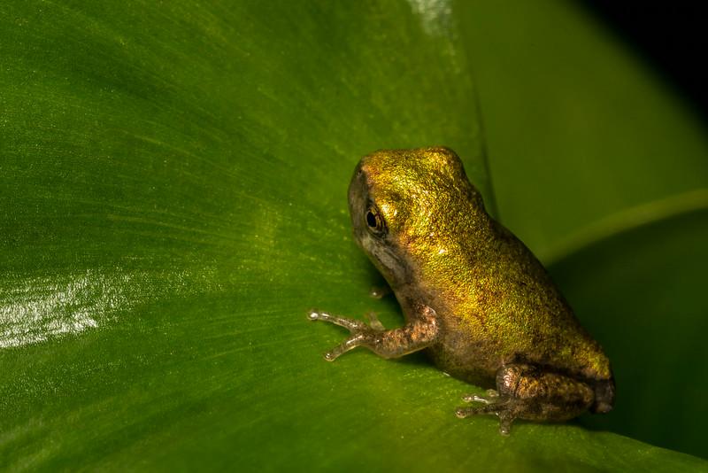 NAc1267 Gray Tree Frog (Hyla versicolor) Juvenile, Dunwoody, GA