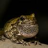 NAc1329 Gray Tree Frog (Hyla versicolor), Dunwoody, GA