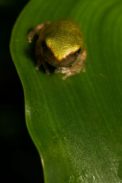 NAc1543 Tree Frog (Hyla versicolor) Juvenile,  Dunwoody, GA