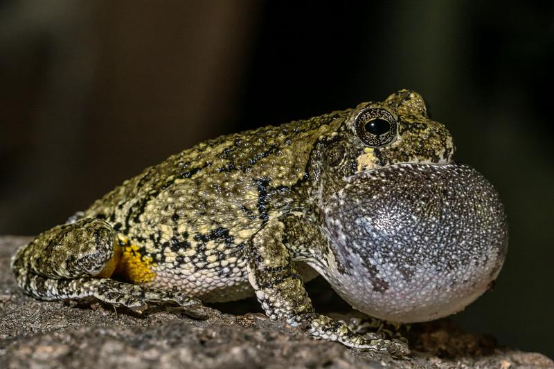 NAc1362 Gray Tree Frog (Hyla versicolor), Dunwoody, GA