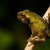 NAc1279 Gray Tree Frog (Hyla versicolor) Juvenile, Dunwoody, GA