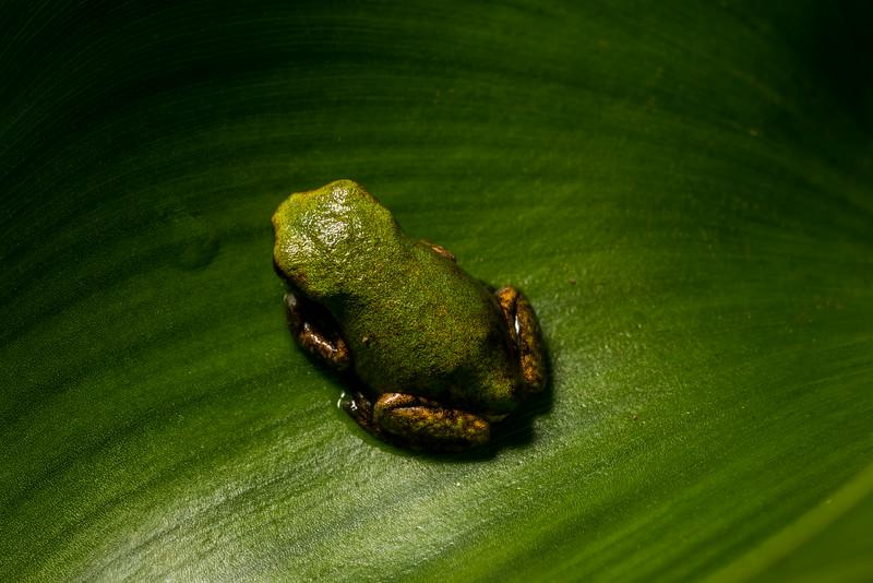 NAc1553 Gray Tree Frog (Hyla versicolor) Juvenile,  Dunwoody, GA
