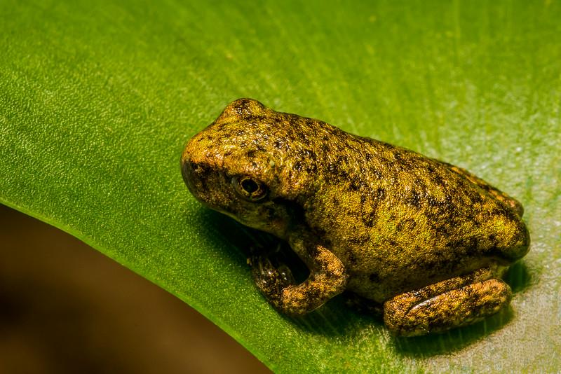 NAc1201 Gray Tree Frog (Hyla versicolor) Juvenile, Dunwoody, GA