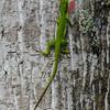 NAc1038 Green Anole (Anolis carolinensis), spring, Atlanta, GA