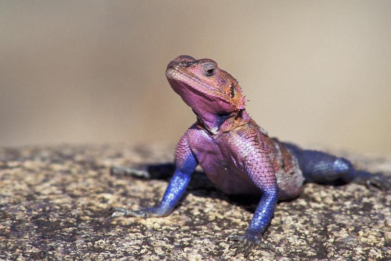 NAc29 - Rainbow Lizard (Agama agama)