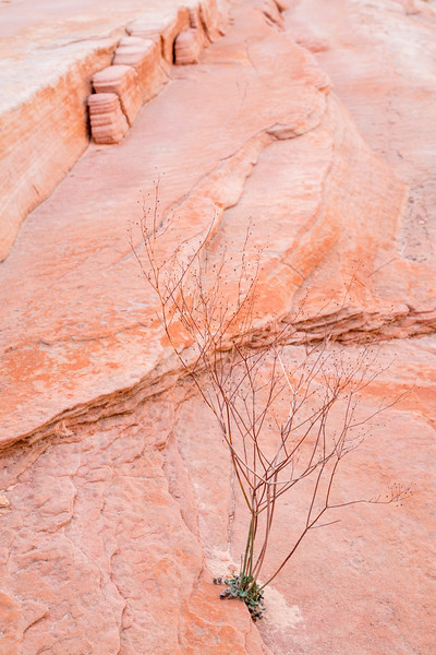 A dried plant decorating the sandstone shelf. Taken in the Valley of Fire State Park, Nevada, USA.