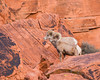 Two desert bighorn (Ovis canadensis nelsoni) rams on the sandstone. Taken in the Valley of Fire State Park, Nevada, USA.