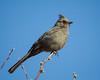 A phainopepla (Phainopepla nitens). Taken at the Overton Wildlife Area, Nevada, USA.