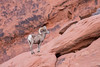 A desert bighorn (Ovis canadensis nelsoni) ram on the sandstone. Taken in the Valley of Fire State Park, Nevada, USA.