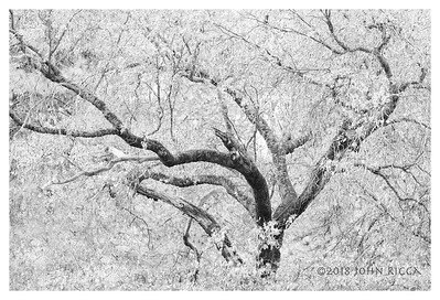 Yosemite Tree Abstract