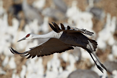 """Look Out Below""  Sandhill crane (Grus canadensis) in flight, with snow geese (Chen caerulescens) in the background. Taken at Bosque del Apache National Wildlife Refuge, New Mexico, USA."