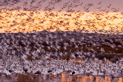 """Snow Geese Ascension""  A flock of snow geese take flight at Bosque del Apache National Wildlife Refuge near San Antonio, New Mexico. This image was a Fifth Place Winner in the 2007 National Wildlife Refuge Association Contest."