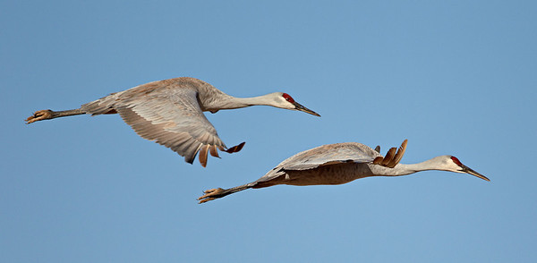 """""""Sandhill Pair in Flight""""  It's almost like shooting fish in a barrel. A pair of sandhill cranes (Grus canadensis) in flight. Taken at Bosque del Apache National Wildlife Refuge, New Mexico, USA."""