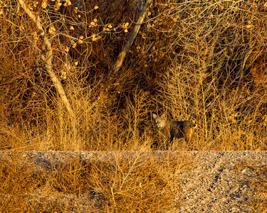 """Bobcat in Golden Light""  A bobcat (Lynx rufus) was off in the distance one evening, just before sunset. It was a thrill to see it with that classic tail bobbing up and down as we photographed it. Taken at Bosque del Apache National Wildlife Refuge, New Mexico, USA. You'll want to look at this one big, cuz the bobcat is relatively small in the frame."