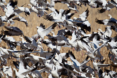 """Escher's Dream""  Snow geese (Chen caerulescens) in flight following a mass blastoff from a corn field. Taken at Bosque del Apache National Wildlife Refuge, New Mexico, USA."