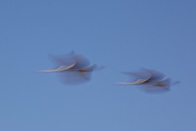 """Sandhill Cranes in Motion""  Sandhill cranes (Grus canadensis) in flight. This blur is accomplished using a long shutter speed. Taken at Bosque del Apache National Wildlife Refuge, New Mexico, USA."