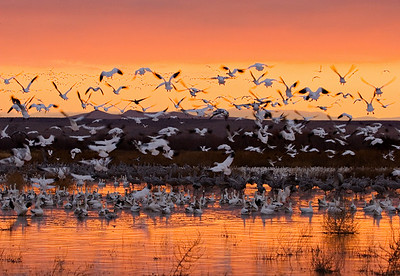 """Colorful Sunrise Ascension""  The snow geese roost all night in the water at Bosque del Apache National Wildlife Refuge in New Mexico. On this morning, the colorful light coincided with their takeoff flight. This image is one of those that made up the First Place in the Photo Club Category of the Nature's Best Magazine 2007 Awards. It appeared in print in the magazine and was also on display in the Smithsonian Museum in Washington, DC through spring of 2008."