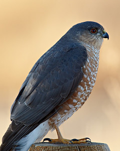 """Bosque Sharpie""  A sharp-shinned hawk (Accipiter striatus) at Bosque del Apache National Wildlife Refuge, New Mexico, USA. This bird was really nice to photograph, as it kept flying from low perch to low perch."