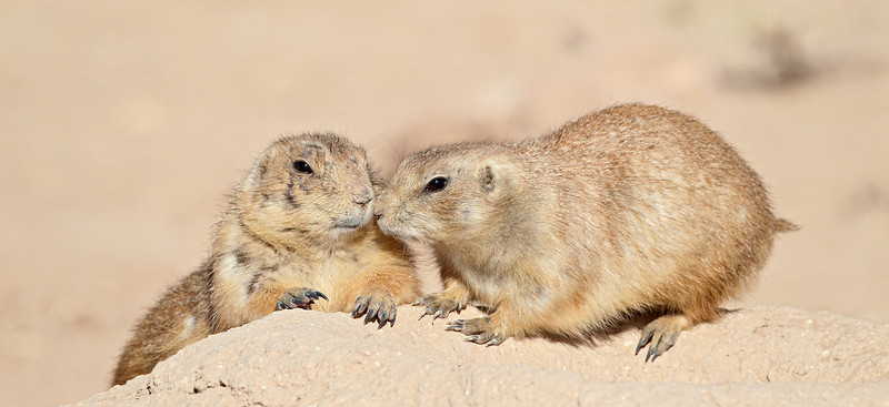 Black-tailed prairie dogs (Cynomys ludovicianus) interact. Taken at the Living Desert Zoo & Gardens State Park, Carlsbad, New Mexico, USA.