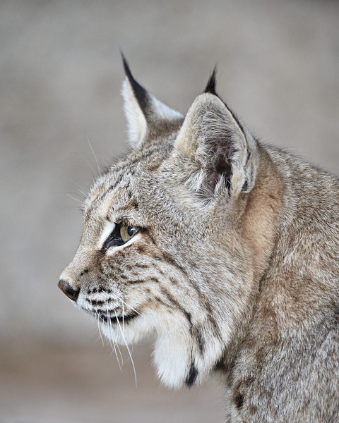 """""""Tufted Ears""""<br /> <br /> A bobcat (Lynx rufus). Taken at the Living Desert Zoo and Gardens State Park in Carlsbad, New Mexico, USA. The facility is accredited by the AZA (Association of Zoos and Aquariums)."""