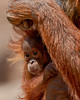 """Peeking Out From Mom's Embrace""<br /> <br /> Baby Reese is wishing you all a happy Valentine's Day! Reese is a Bornean orangutan (Pongo pygmaeus). Taken at the Rio Grande Zoo in Albuquerque, New Mexico. The zoo is accredited by the AZA (American Zoo Association)."