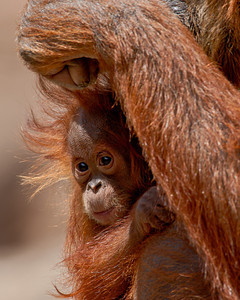 """Peeking Out From Mom's Embrace""  Baby Reese is wishing you all a happy Valentine's Day! Reese is a Bornean orangutan (Pongo pygmaeus). Taken at the Rio Grande Zoo in Albuquerque, New Mexico. The zoo is accredited by the AZA (American Zoo Association)."
