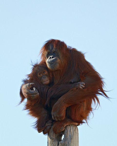 An orangutan (Pongo pygmaeus) female holds her female baby. Taken at the Rio Grande Zoo in Albuquerque, New Mexico. The zoo is accredited by the AZA (American Zoo Association).