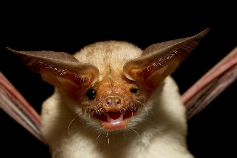 A pallid bat (Antrozous pallidus) portrait. Taken in Hidalgo County, New Mexico, USA.