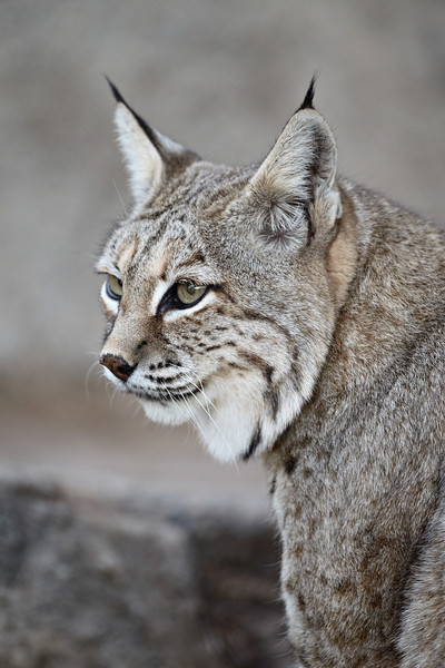 A bobcat (Lynx rufus). Taken at the Living Desert Zoo and Gardens State Park in Carlsbad, New Mexico, USA. The facility is accredited by the AZA (Association of Zoos and Aquariums).