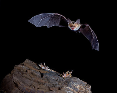 """Pallid Bat and Its Prey""  A pallid bat (Antrozous pallidus) in flight.  Below it are two plains lubber grasshoppers (Brachystola magna), also known as the homesteader or western lubber grasshopper. Taken in Hidalgo County, New Mexico, USA."