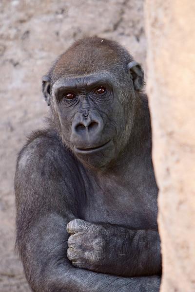 A Western lowland gorilla (Gorilla gorilla gorilla) at the Rio Grande Zoo, Albuquerque, New Mexico, USA.