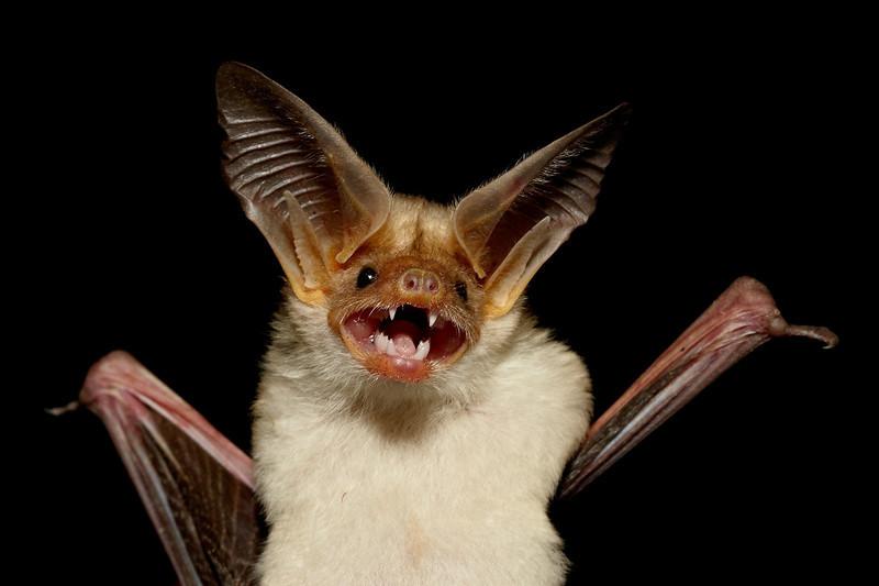 """""""Grinning Pallid Bat""""<br /> <br /> A pallid bat (Antrozous pallidus) portrait. Taken in Hidalgo County, New Mexico, USA."""