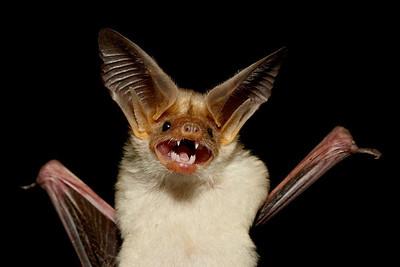 """""""Grinning Pallid Bat""""  A pallid bat (Antrozous pallidus) portrait. Taken in Hidalgo County, New Mexico, USA."""