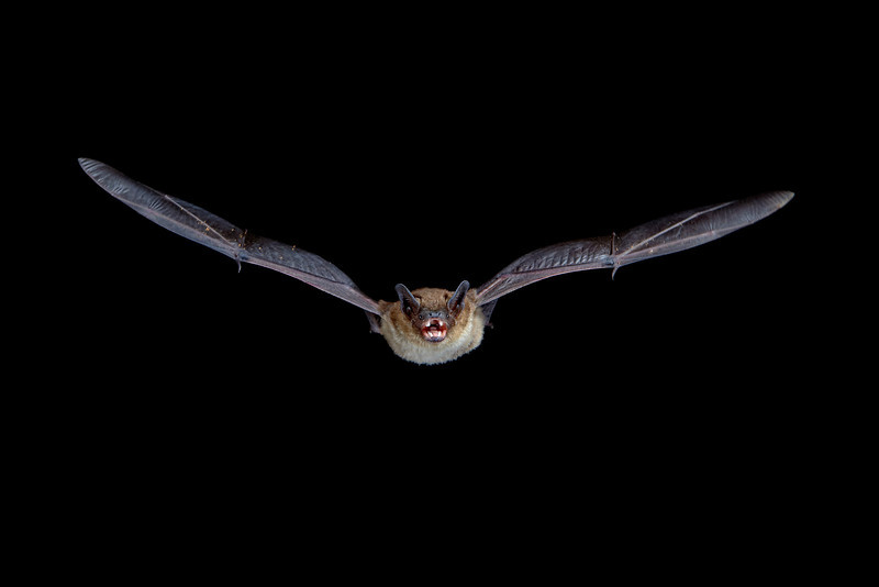 A big brown bat (Eptesicus fuscus) in flight. Taken in Hidalgo County, New Mexico, USA. A Phototrap device was used to trigger the flashes.