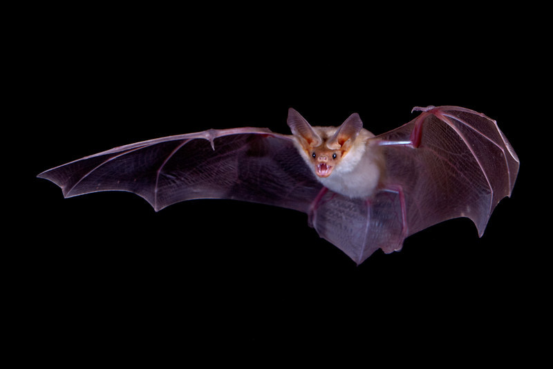 A pallid bat (Antrozous pallidus) in flight.  Taken in Hidalgo County, New Mexico, USA. A Phototrap device was used to trigger the flashes.