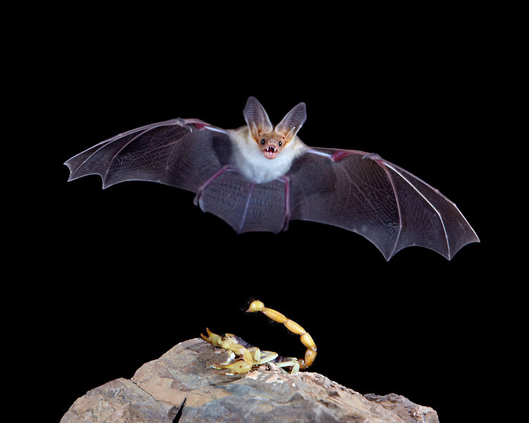 """""""In the Darkness, Creatures Await""""<br /> <br /> A pallid bat (Antrozous pallidus) in flight, with a scorpion lying in wait.  Taken in Hidalgo County, New Mexico, USA. A Phototrap device was used to trigger multiple flashes."""