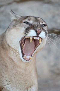 """It's OK, Kitty--Really!""  A mountain lion (Puma concolor), yawns after eating its dinner. The mountain lion is also know as a puma, cougar, panther, or catamount. Taken at the Living Desert Zoo and Gardens State Park in Carlsbad, New Mexico, USA. The facility is accredited by the AZA (Association of Zoos and Aquariums)."