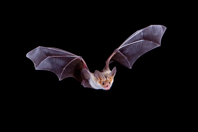 """""""Batty""""<br /> <br /> This one is for my granddaughter S, age 6, who recently woke up to a bat in her bedroom. She had to have a series of shots of rabies vaccine and immune globulin, because she was considered exposed. Now she's fine and still loves bats so much that she was one for Halloween! <br /> <br /> This one is a pallid bat (Antrozous pallidus) in flight.  Taken in Hidalgo County, New Mexico, USA. A Phototrap device was used to trigger the flashes."""