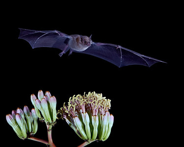 """Creature of the Night""  A lesser long-nosed bat (Leptonycteris yerbabuenae) in flight.  Taken in Hidalgo County, New Mexico, USA."