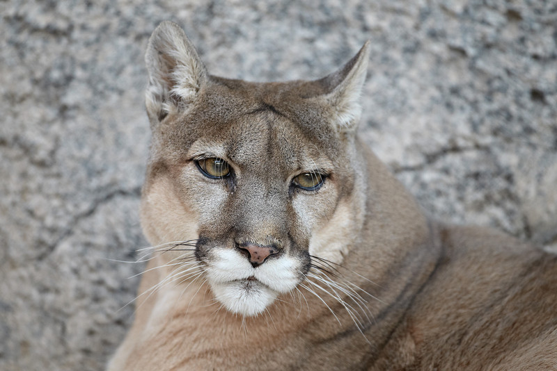A mountain lion (Puma concolor), also know as a puma, cougar, panther, or catamount. Taken at the Living Desert Zoo and Gardens State Park in Carlsbad, New Mexico, USA. The facility is accredited by the AZA (Association of Zoos and Aquariums).