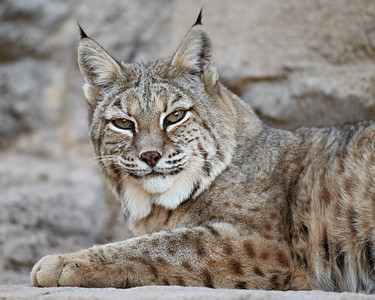 """A Tilt of the Head""  A curious bobcat (Lynx rufus) looks at the photographer with a tilt of the head. Taken at the Living Desert Zoo and Gardens State Park in Carlsbad, New Mexico, USA. The facility is accredited by the AZA (Association of Zoos and Aquariums)."