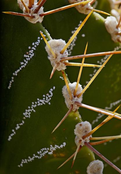 A star cactus (Astrophytum ornatum). Taken at the Living Desert Zoo & Gardens State Park, Carlsbad, New Mexico, USA