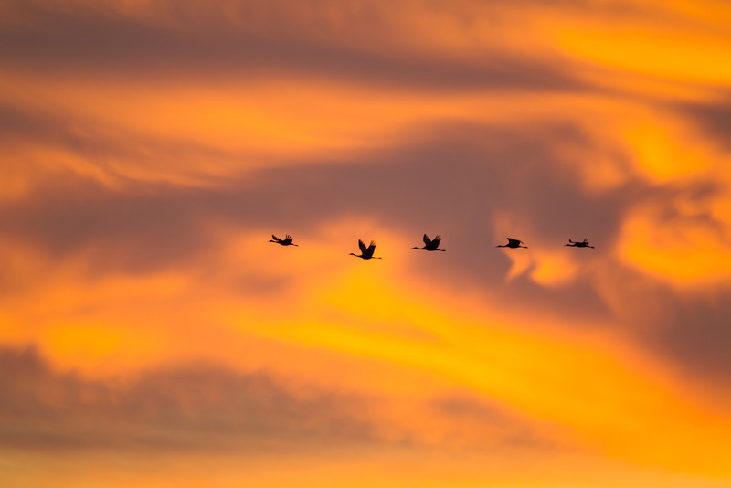 Sandhill cranes (Grus canadensis) fly in to roost at sunset. Taken at Elephant Butte Lake State Park, New Mexico, USA.