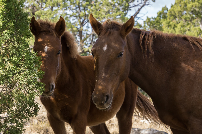A wild horse (Equus ferus) mare and her foal. Taken at Bluewater Lake State Park, New Mexico, USA.