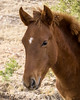 A wild horse (Equus ferus) foal. Taken at Bluewater Lake State Park, New Mexico, USA.